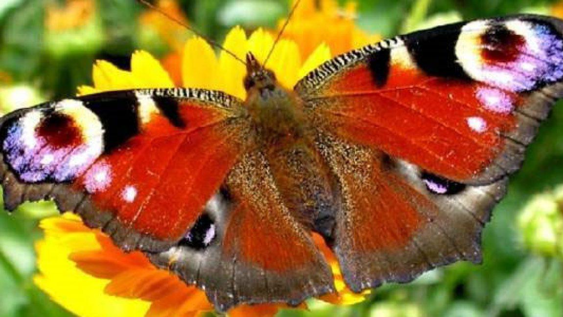 Бабочка-красавица, скушайте варенье!