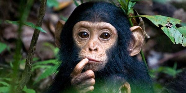 shimpanze