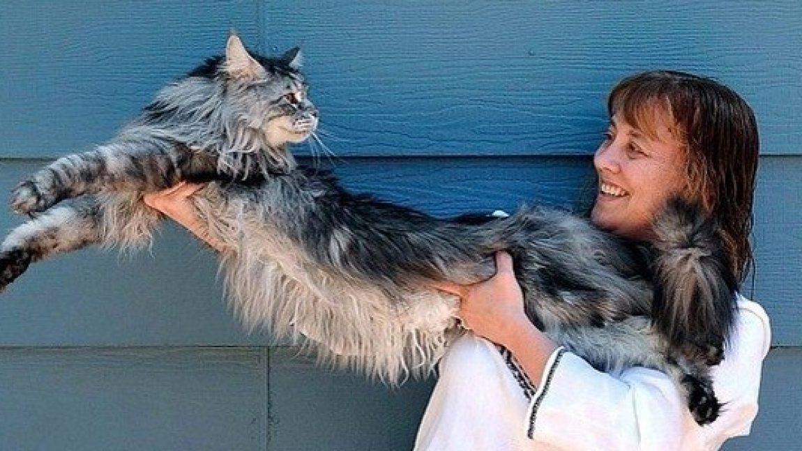 Самый длинный домашний кот на свете