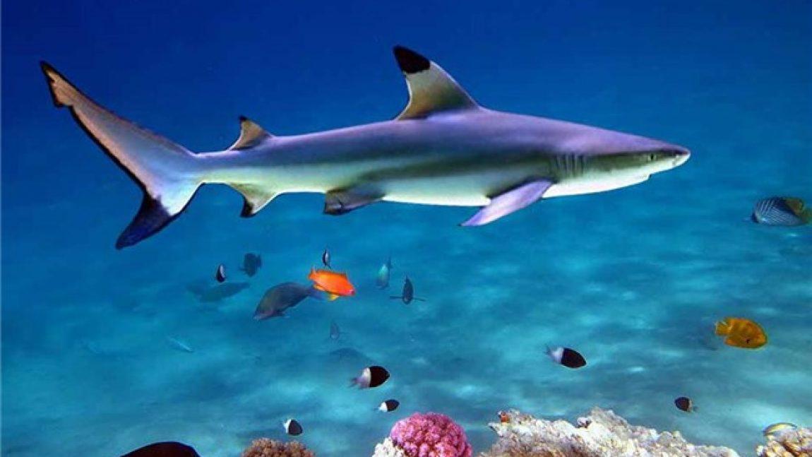 «Кто живёт под водой»? Акула!