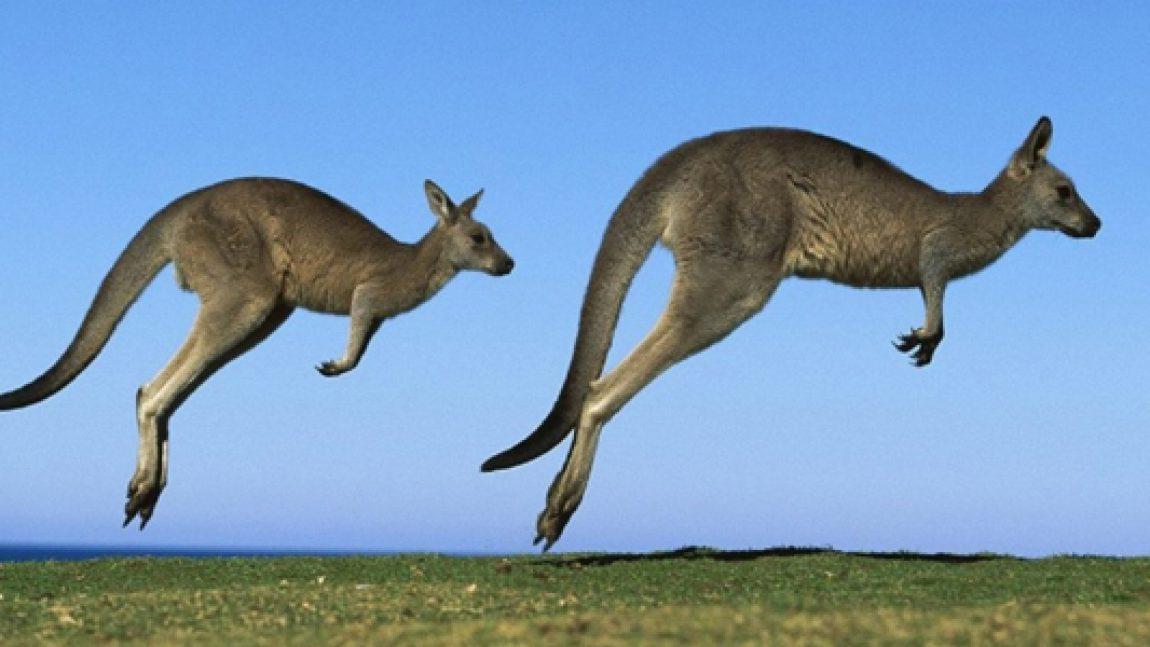 Спаситель кенгуру