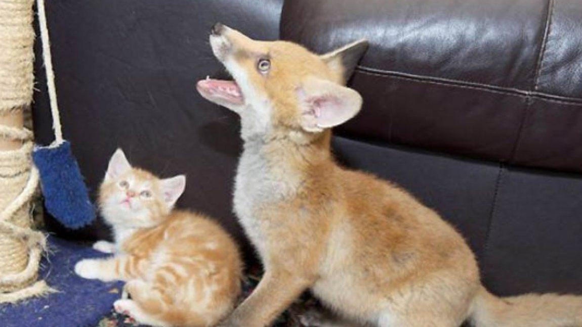 Как котята спасли лисенка