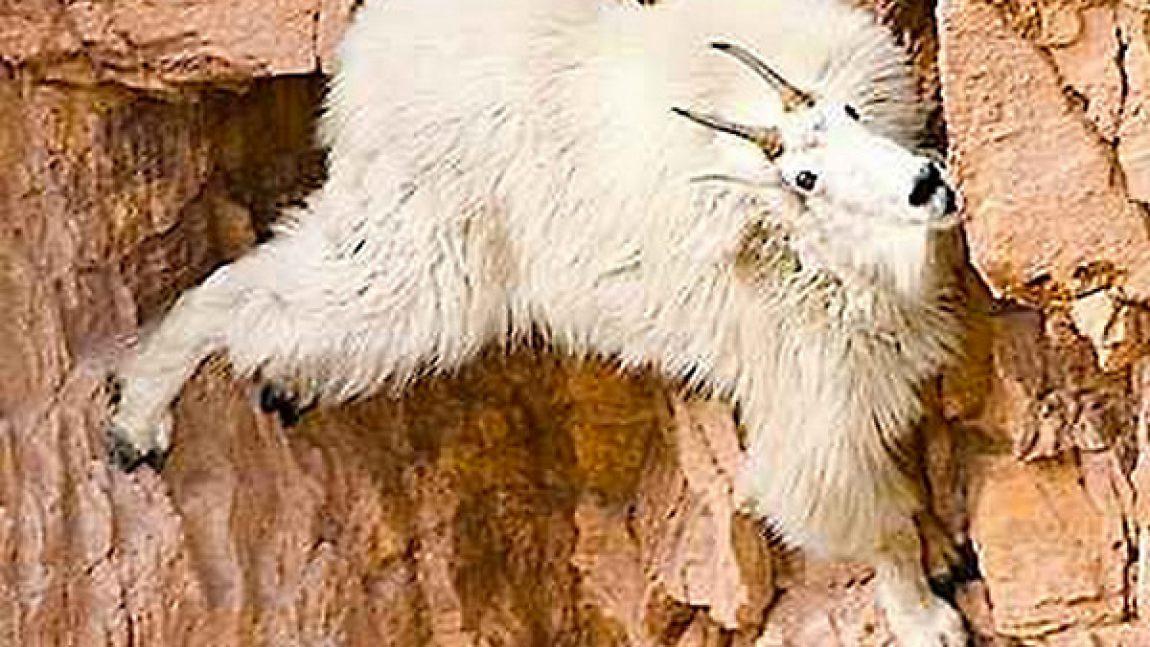 Ибексы – животные скалолазы