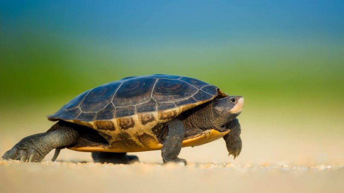 «Кто живёт под водой»: черепахи