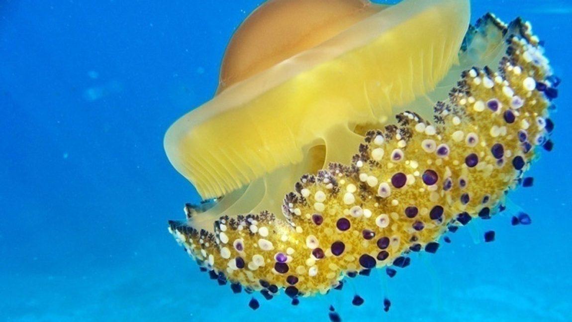 «Кто живёт под водой»: медузы